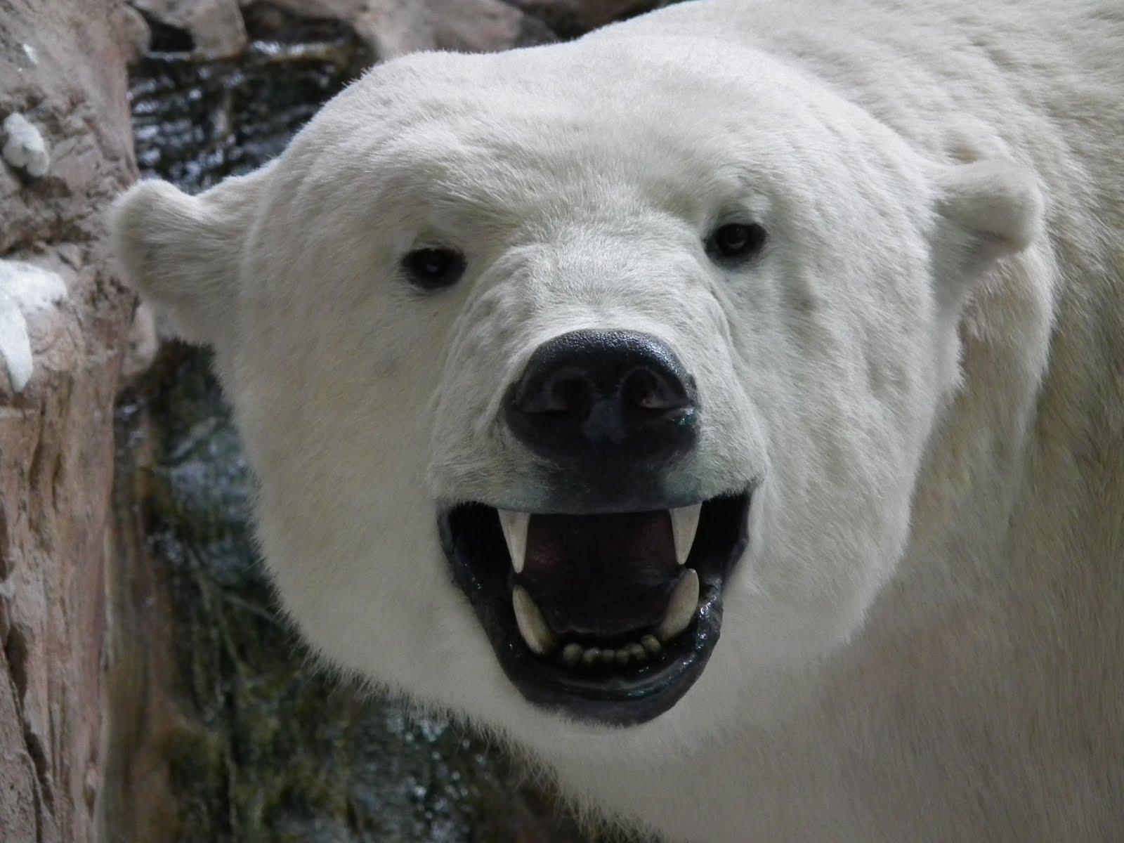 состоит оскал белого медведя картинки вырезать объект картинки