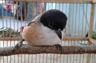Isian Yang Bagus Untuk Burung Cendet Segala Hobi