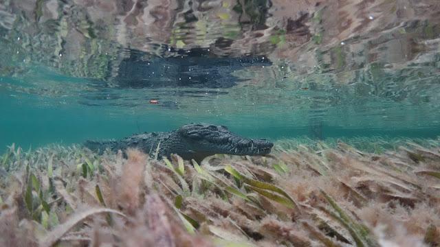 crocodile surprises diver