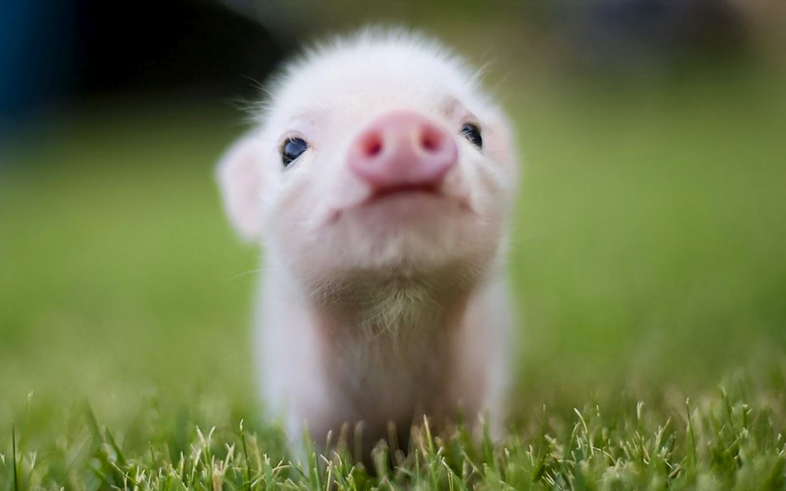 Interesting Facts About Pigs | Do You Know?