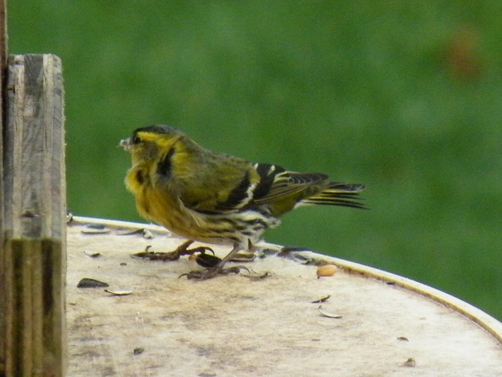 Du four au jardin et mes dix doigts petit oiseau for Oiseau marron