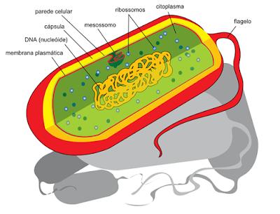 formas bactéria estrutura celular