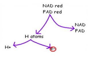 # 90 Oxidative phosphorylation and Electron transport