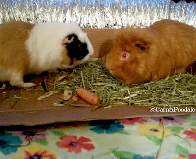 2 guinea pigs looking at each other