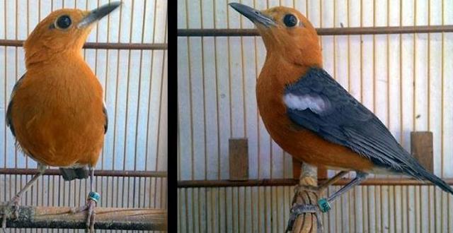 Burung anis Merah Jantan dan Betina