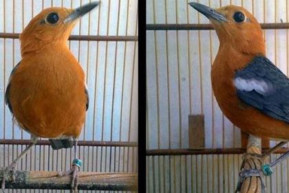 Cara Mudah Membedakan Burung anis Merah Jantan dan Betina