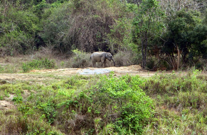 Elefantenbulle in freier Natur im Kui Buri Nationalpark, Thailand