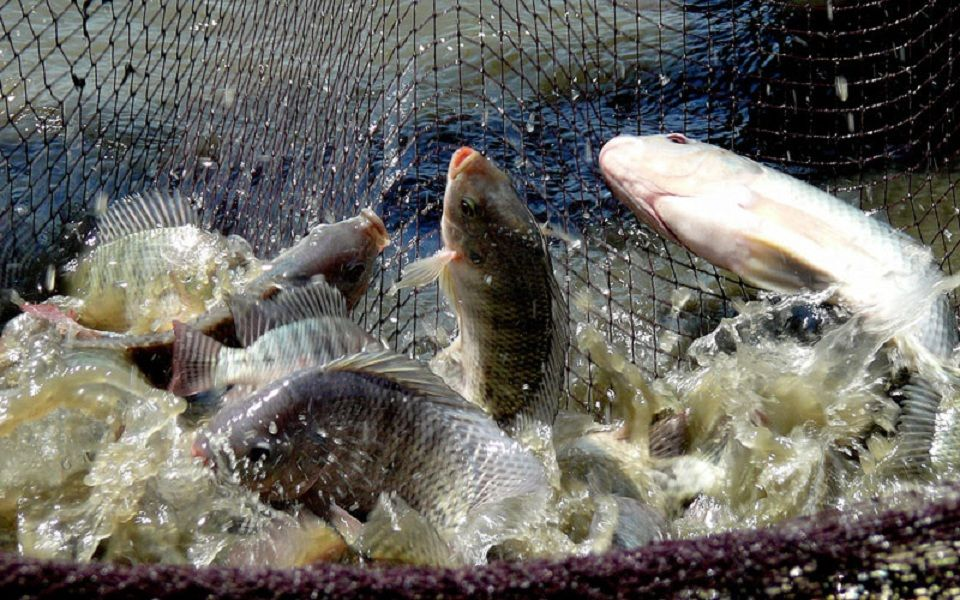 Pemijahan Ikan Nila