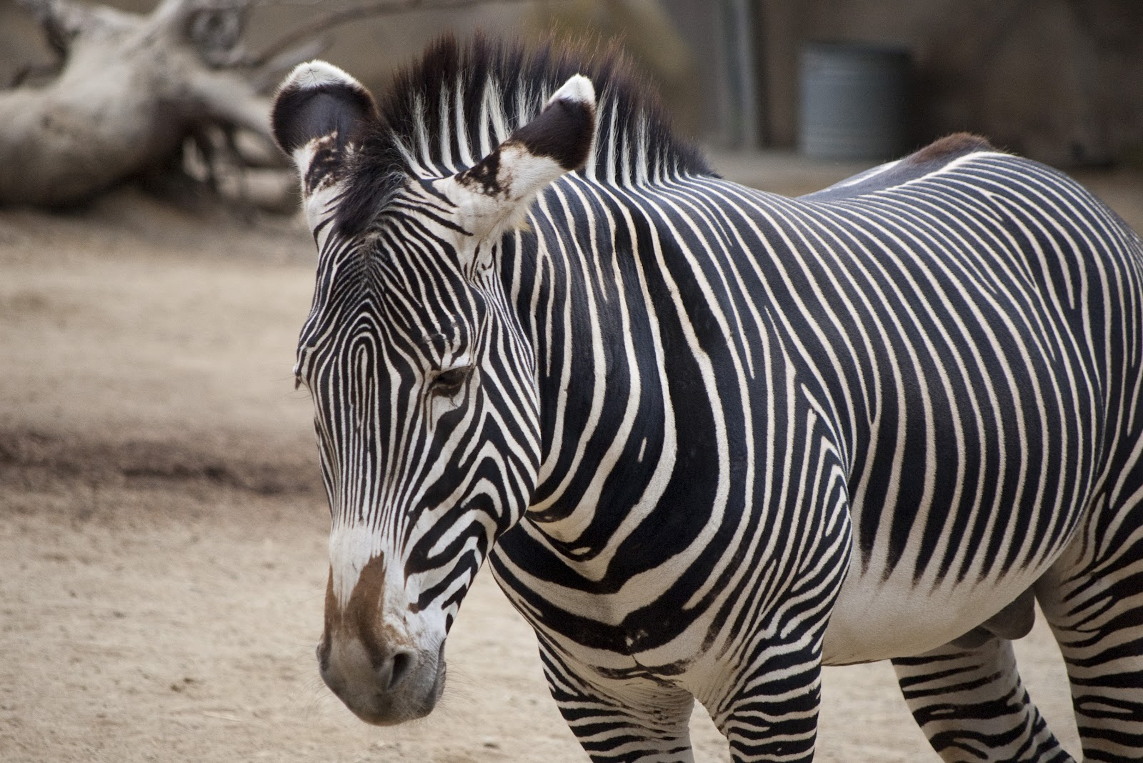 zebra quagga plains zoo equus animal animals facts stripes labels freeimageslive grevy distinctive equidae grevys definition wildlife gr