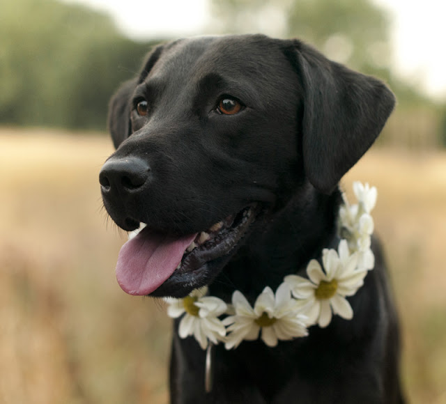 How much does the average Labrador Retriever - like this black one - eat, sleep and exercise