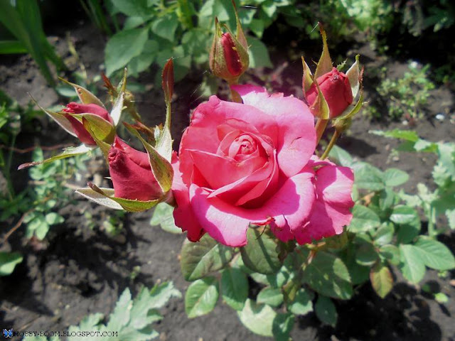 роза низкорослая