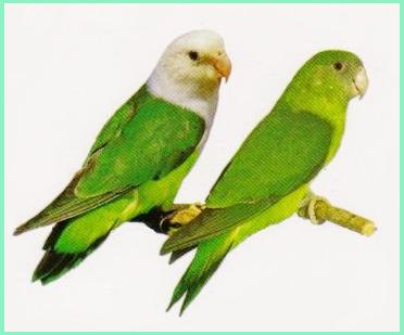Mengenal Lovebird Madagaskar