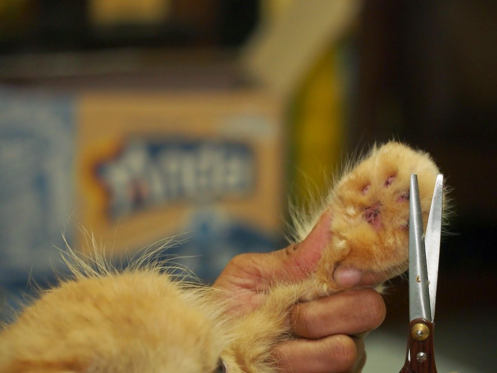 Mencukur Rambut Pada telapak kaki Kucing