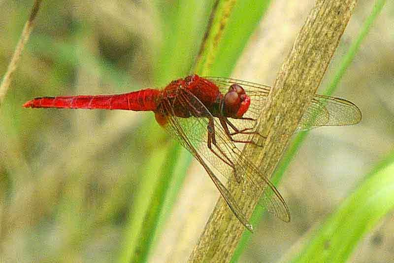 Red Dragonfly, Trithemis aurora