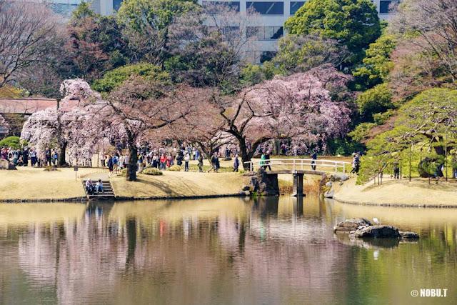 桜花期の小石川後楽園