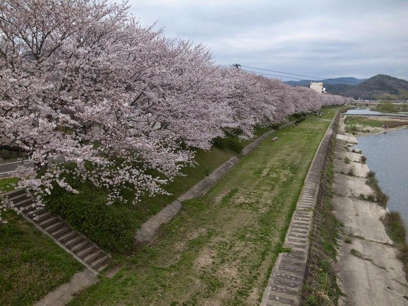 夢前川河川敷のさくら。普段車で通過するだけなのでこんな景色も見れません。