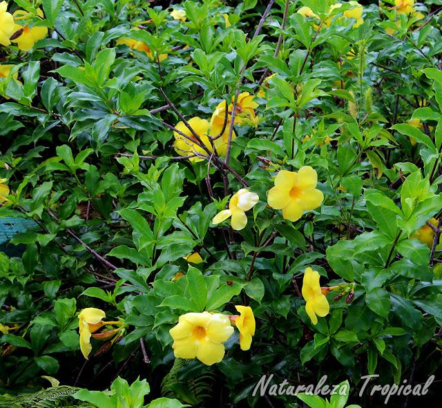 Arbusto de la Trompeta de Oro o flor de Mantequilla, Allamanda cathartica