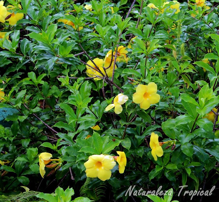 Arbusto de la Trompeta de Oro o flor de Mantequilla, Allamanda canthartica