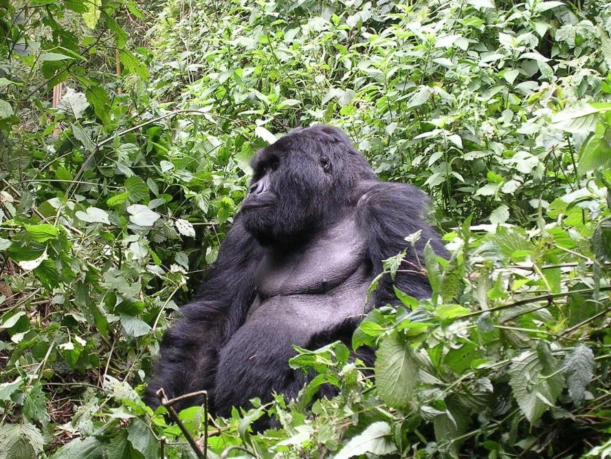 Gorila-de-grauer