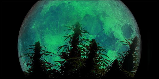 אור הירח אינו משפיע על קולטני האור של צמח הקנאביס