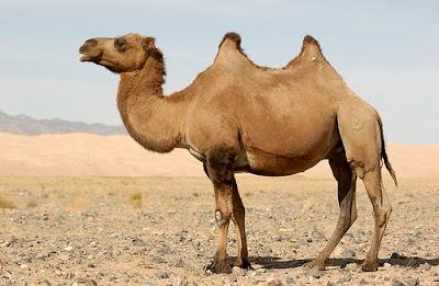 Wild bactrian Camel
