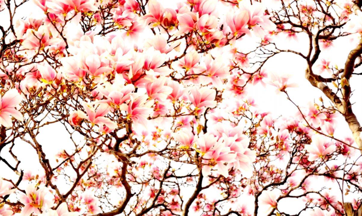 Sakura Japanese Flower Wallpaper Wallpapers Quality