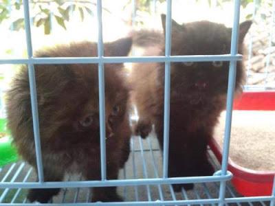 Tempat Jual Kucing di Denpasar Bali - Indonesia