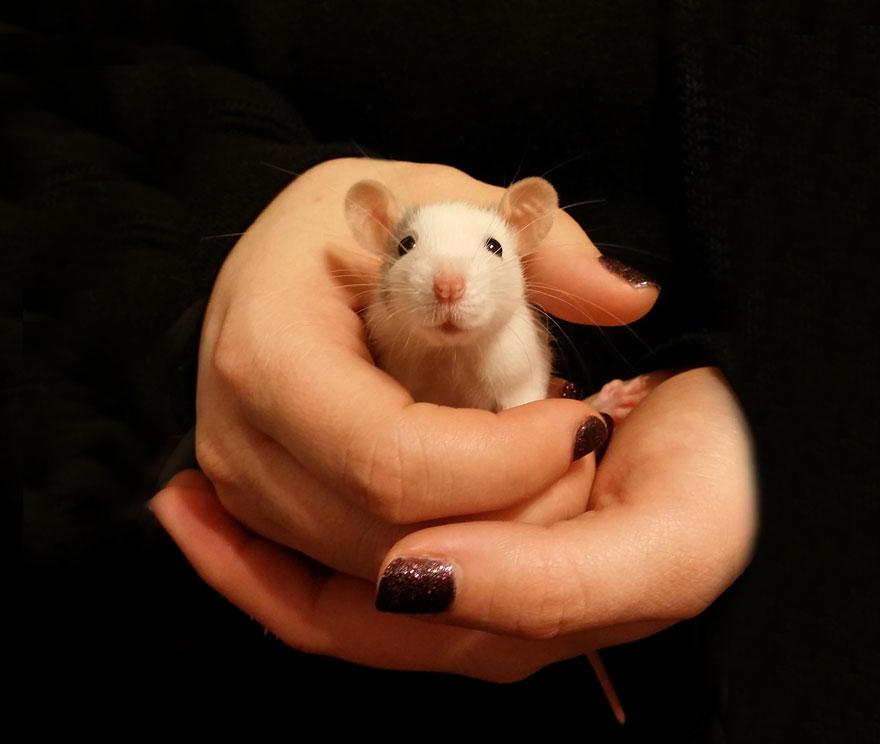 cute-pet-rats-18
