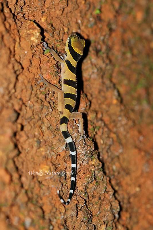 Langkawi nature gecko