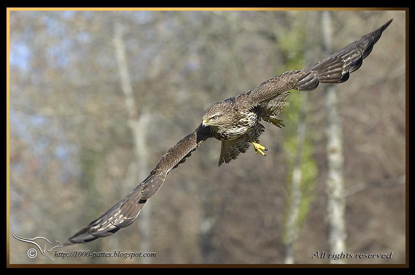 Common buzzard landing