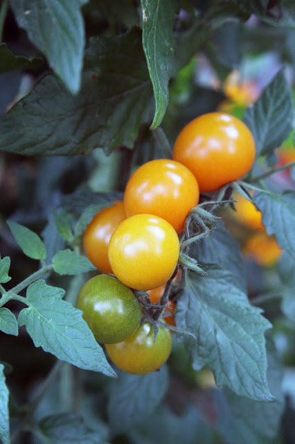 sungold tomatoes, autumn tomatoes, garden tomatoes, cherry tomatoes, Anne Butera, My Giant Strawberry
