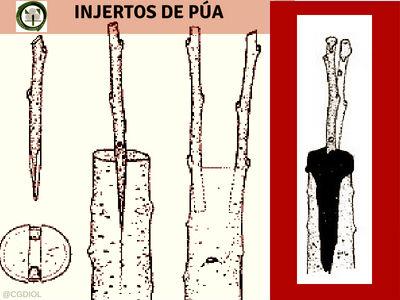 El Injerto de Púa se caracteriza por el implante es prácticamente una estaca