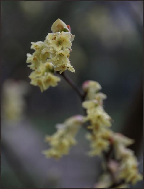 leszczynowiec