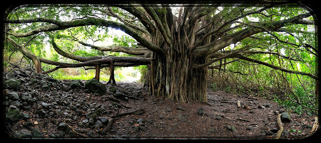 A Very Large Banyan Tree on the Pipiwai Trail Maui, Hawaii
