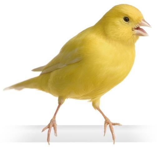 طائر الكناري