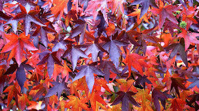 maroon leaves hd resolution wallpaper
