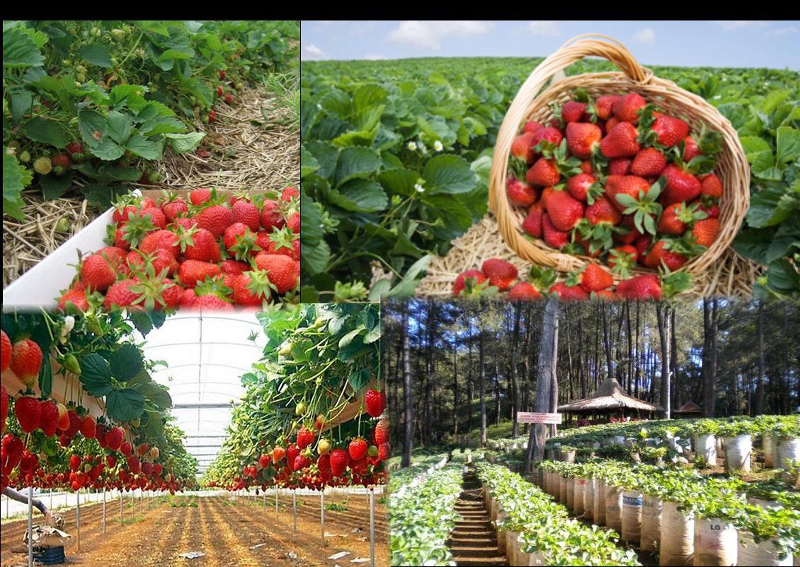 Kebun Strawberry Lembang Tiket Masuk