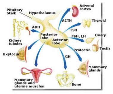peristiwa kimiawi tubuh manusia sistem hormonal sistem