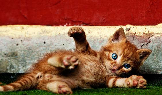 kissan kulttuurillinen asema: kissat saduissa: leikkisät pennut