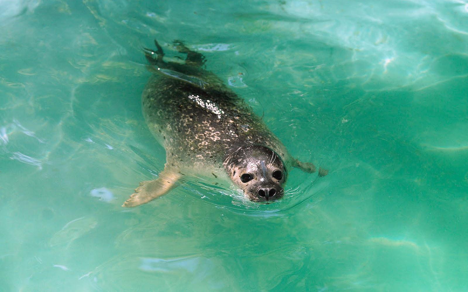 Een Zwemmende Zeehond Achtergronden