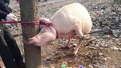 """Cậu bé 2 tuổi bị """" Heo mẹ """" Nhai đầu sau khi bò vào chuồng Lợn"""