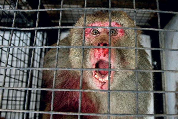 COMÉRCIO DE PRIMATAS Os primatas, como o gorila, o orangotango e o chimpanzé, também são vítimas do comércio ilegal e estão correndo risco de extinção.