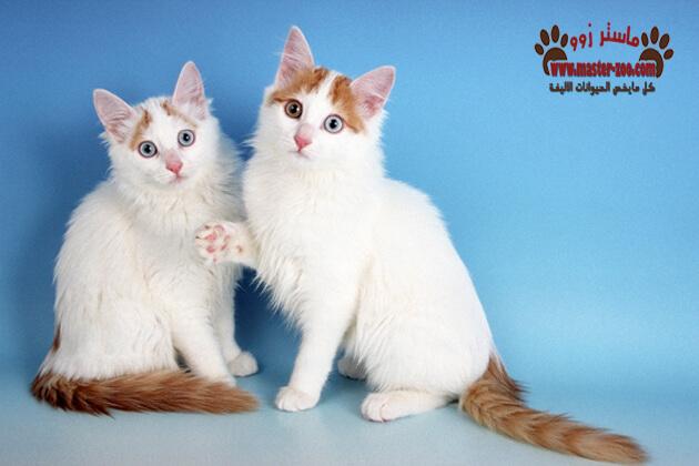 شاهد أهم سلالات وأنواع القطط بالصور
