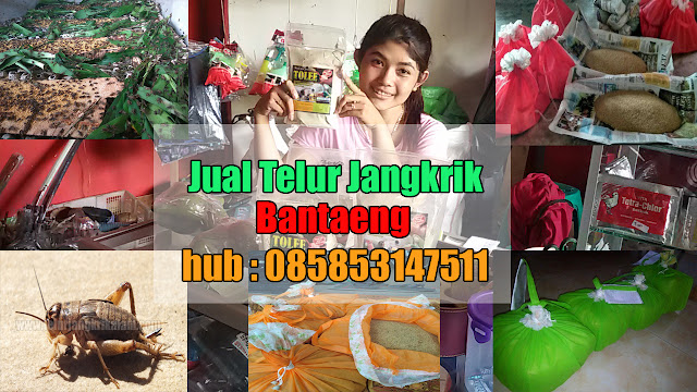 Jual Telur Jangkrik Bantaeng Hubungi 085853147511