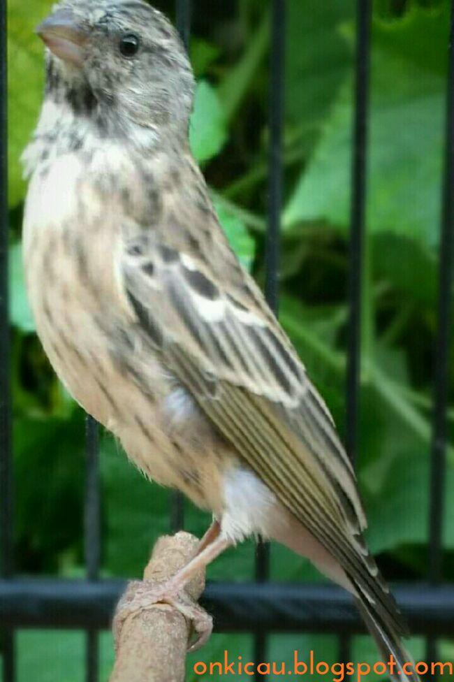 Cara Membuat Burung Blackthroat Cepat Gacor On Kicau