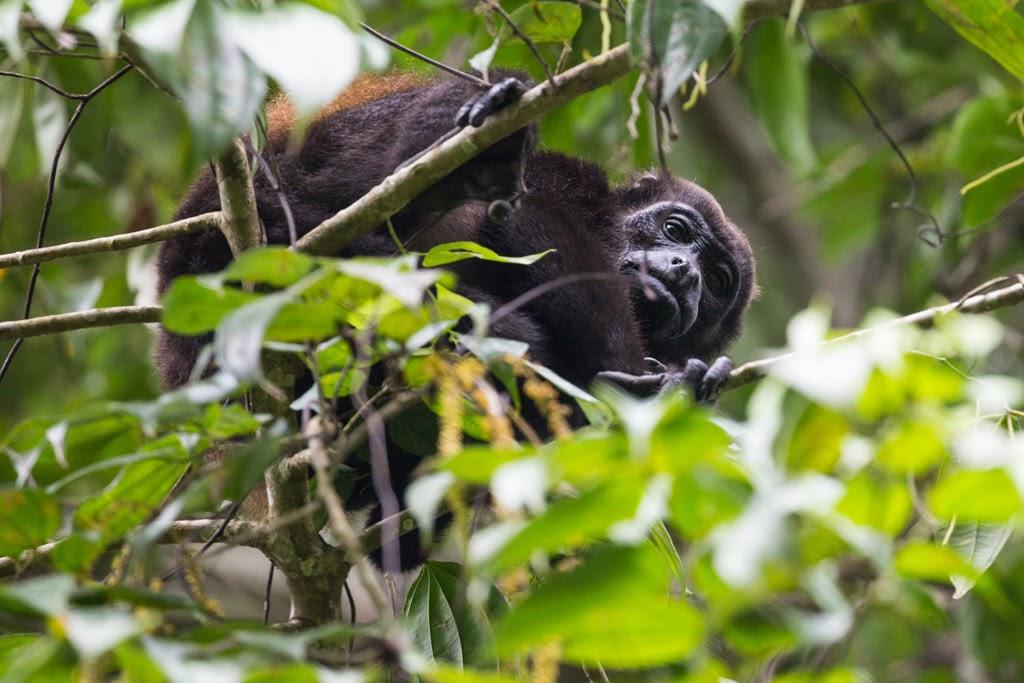 Mono aullador o mono congo en el Parque Nacional Cahuita