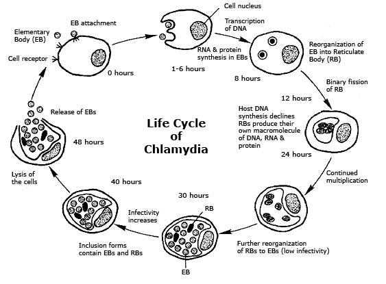 Chlamydia symptoms