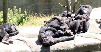 Chimpanzee sleep time