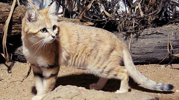 gambar kucing gurun