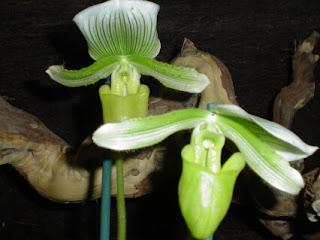 orquidea paphiopedilum